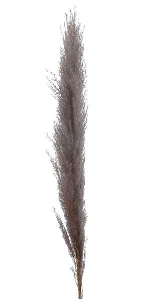 Pampasgraswedel